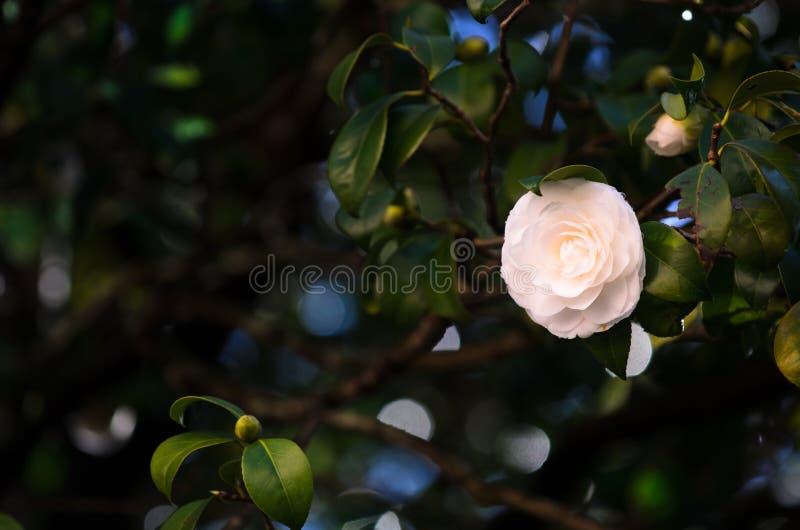 Camellia royalty free stock photos