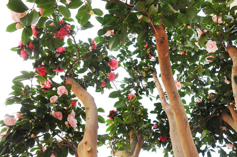 camelliaen blommar treen royaltyfria foton