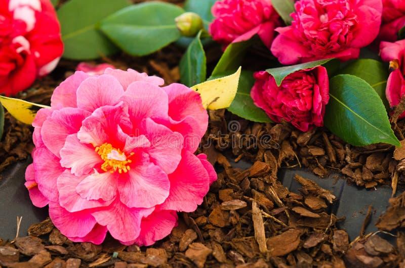 Camellias royalty free stock photos