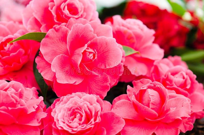 Camellias stock image