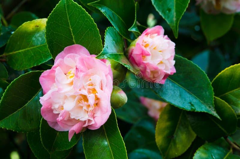 Camellias stock photography