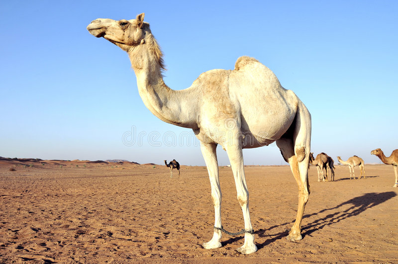 Camello árabe foto de archivo libre de regalías