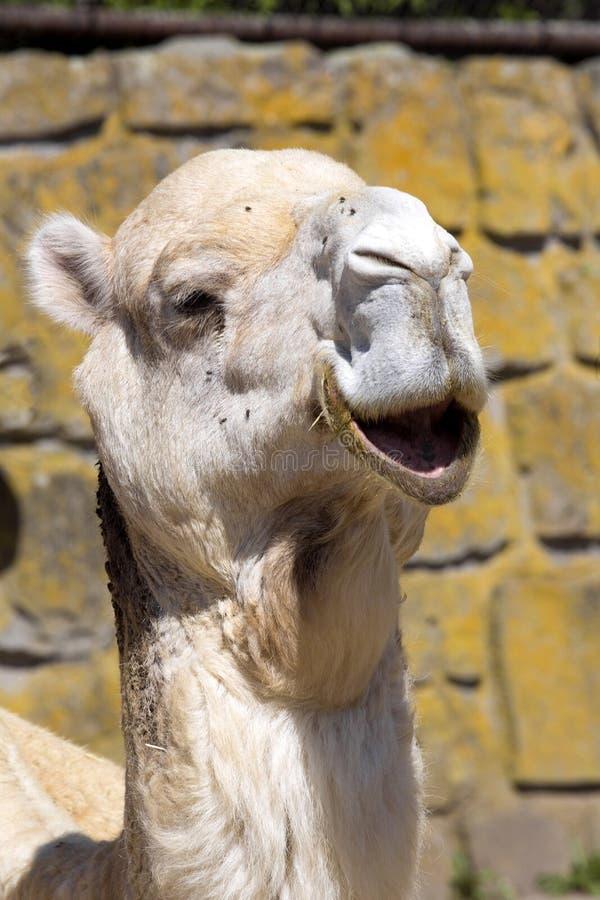 Camello árabe del retrato, dromedarius del Camelus fotos de archivo libres de regalías