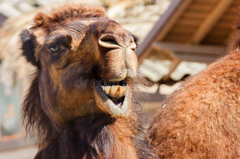 Camello árabe o dromedario (dromedarius del Camelus) imagen de archivo