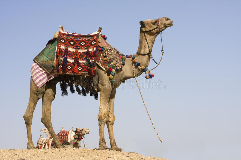 Camello imágenes de archivo libres de regalías