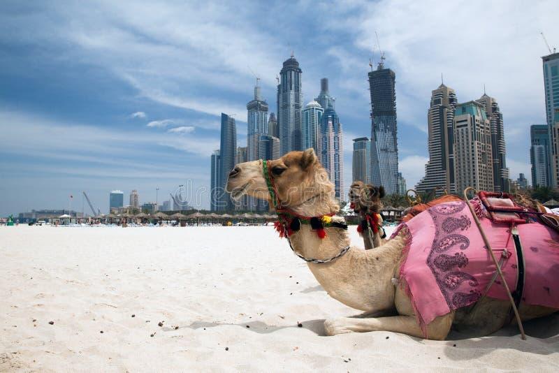 Camello. foto de archivo