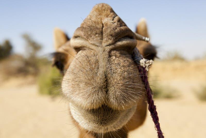 Camello. imagen de archivo