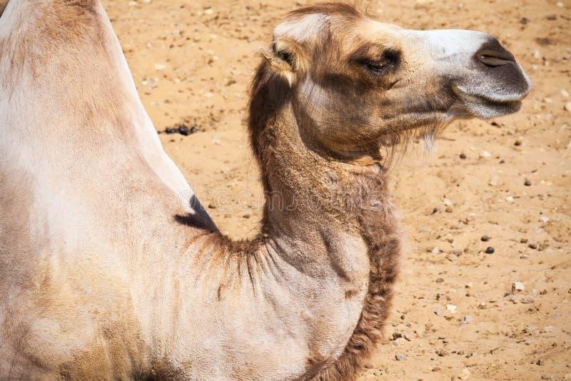 Camello fotografía de archivo