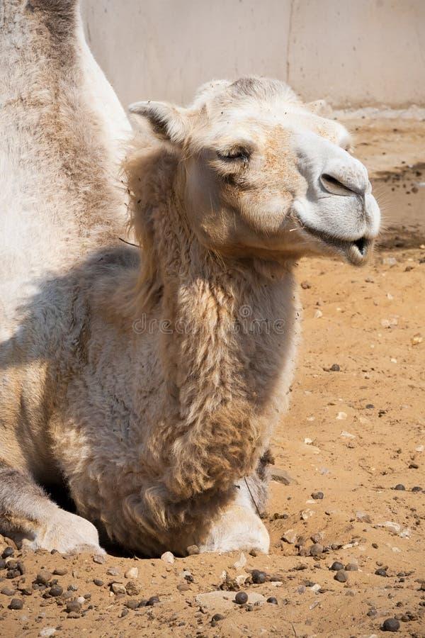 Camello fotografía de archivo libre de regalías