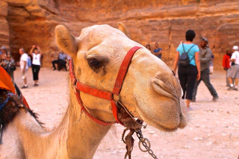 Camello fotos de archivo