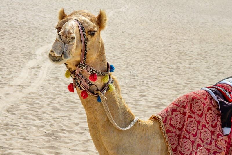 Camello adornado divertido de la cara tonta colorida en el fondo arenoso fotografía de archivo