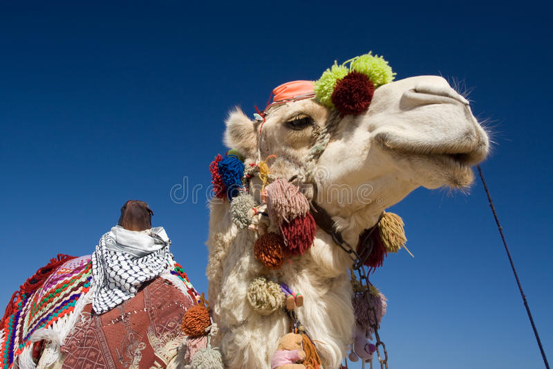 Camello adornado en Egipto imagenes de archivo