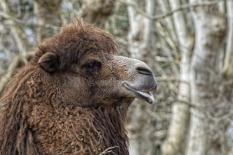 Camello aislado de Dromedar fotografía de archivo
