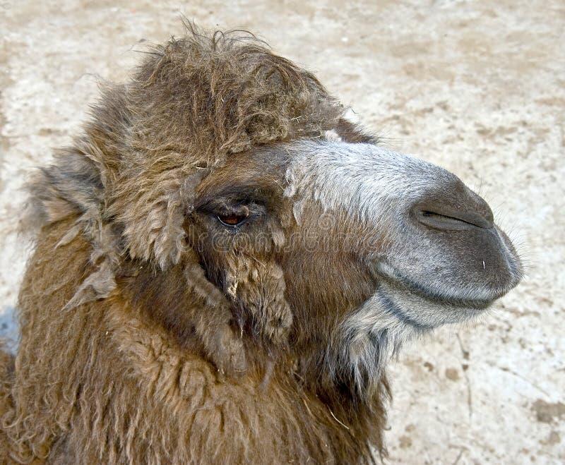 Camello bactriano 13 foto de archivo