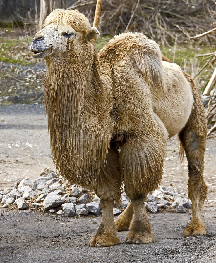 Camello bactriano 15 imagen de archivo