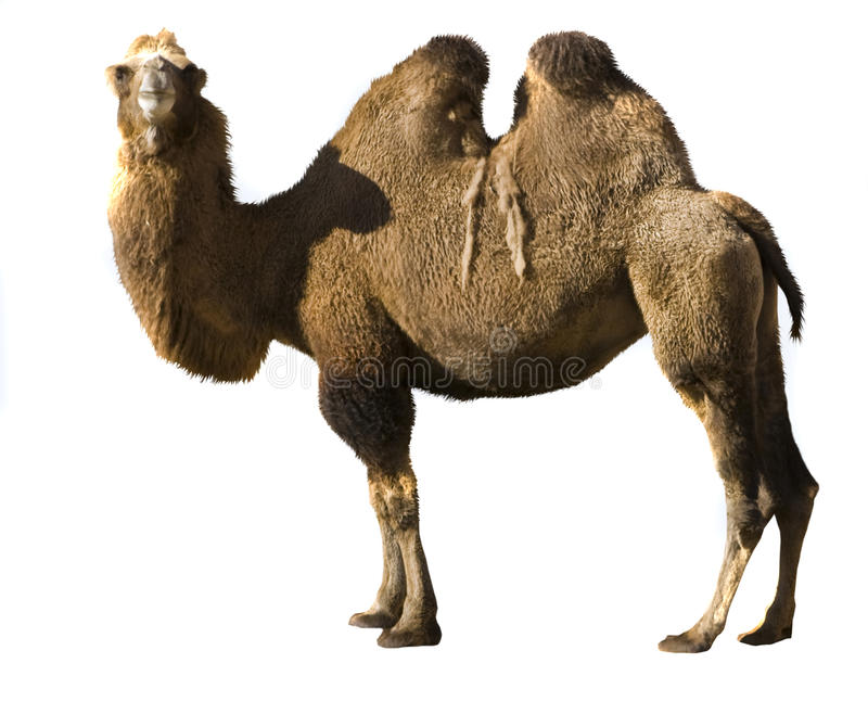 Camello bactriano fotos de archivo