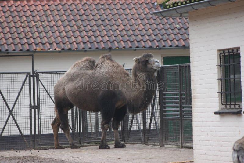 Camello bactriano imágenes de archivo libres de regalías