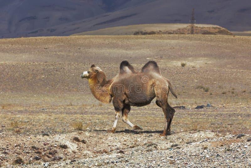 Camello bactriano fotografía de archivo