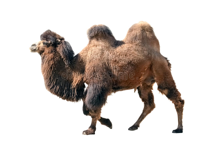 Camello bactriano aislado en blanco foto de archivo libre de regalías