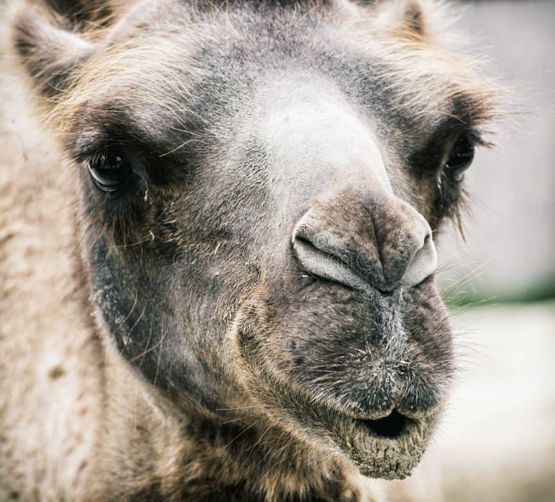 Camello bactriano - bactrianus del Camelus - retrato chistoso del primer fotografía de archivo libre de regalías