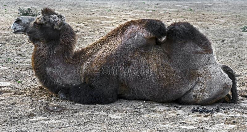 Camello bactriano en la arena 4 fotos de archivo
