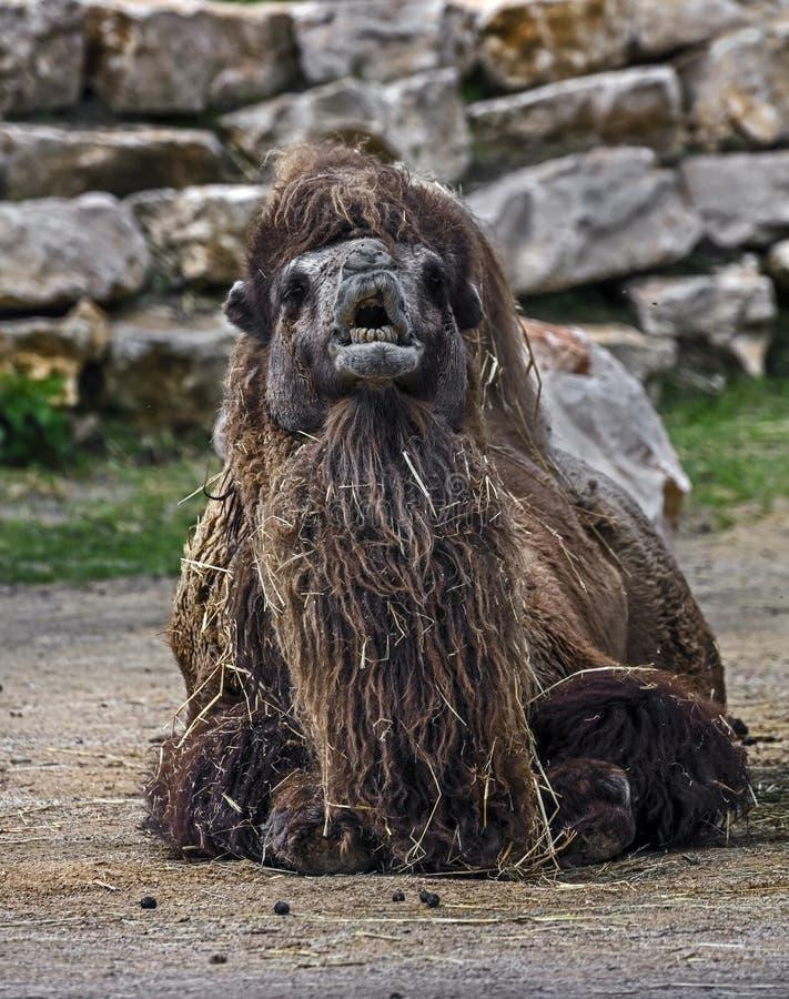 Camello bactriano en la arena 2 fotografía de archivo libre de regalías