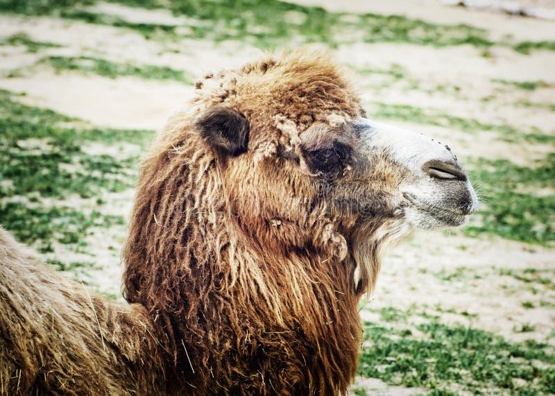 Camello bactriano que mira en la cámara, retrato animal fotos de archivo