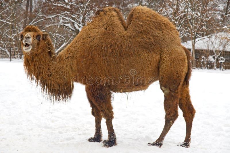 Camello - bactrianus del Camelus foto de archivo