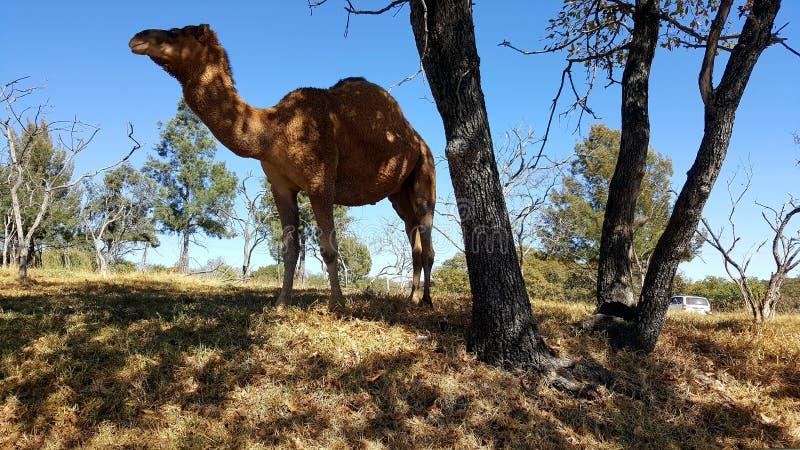 Camello, camelo do dromedario foto de stock royalty free