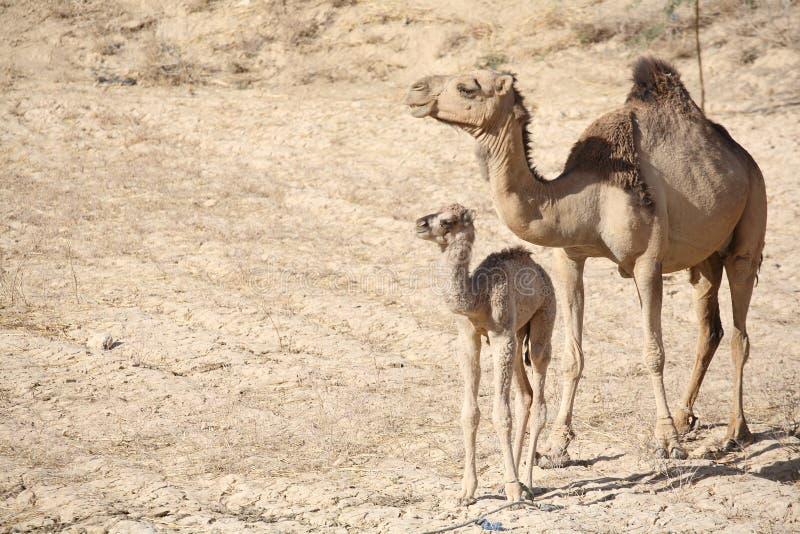 Camello de la madre con el bebé fotos de archivo