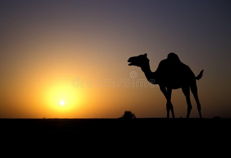 Camello del árabe o del dromedario, dromedarius del Camelus fotos de archivo libres de regalías