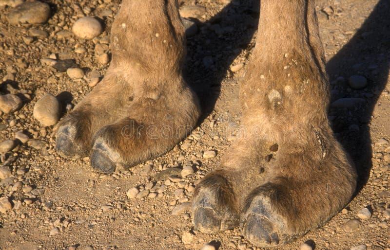 Camello del árabe o del dromedario, dromedarius del Camelus fotografía de archivo
