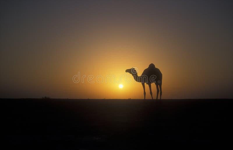 Camello del árabe o del dromedario, dromedarius del Camelus imagen de archivo