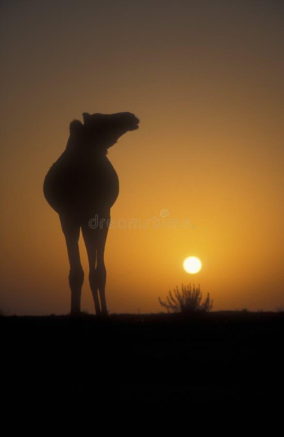 Camello del árabe o del dromedario, dromedarius del Camelus fotografía de archivo libre de regalías