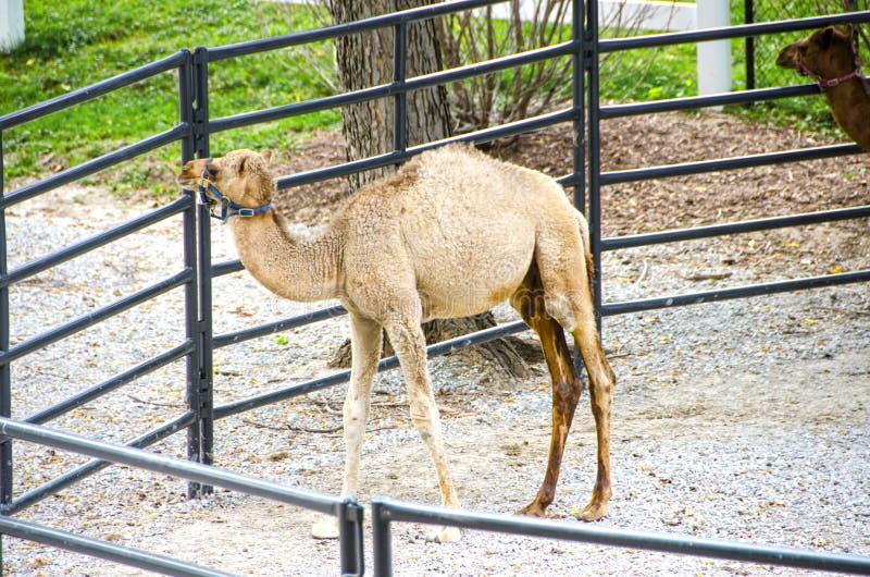 Camello del bebé en el parque zoológico fotografía de archivo libre de regalías