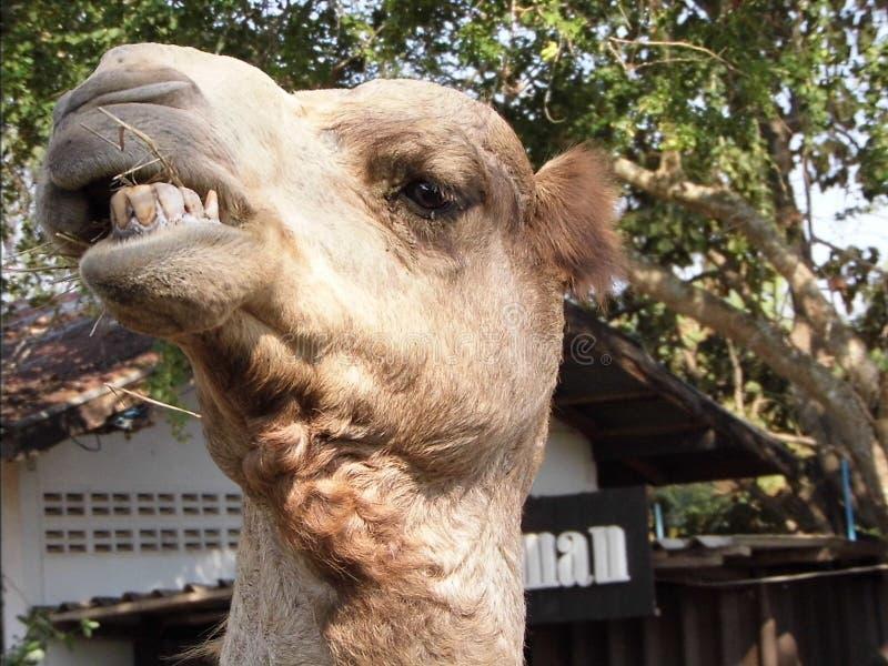 Camello divertido fotografía de archivo libre de regalías