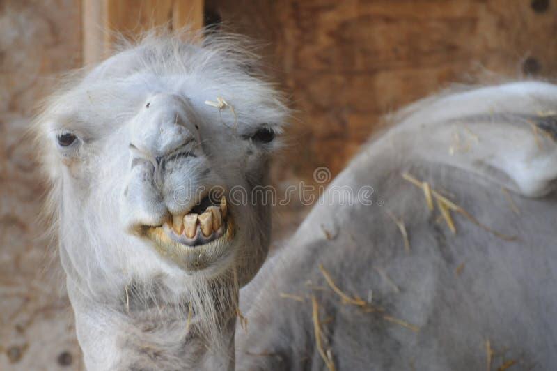 Camello divertido con los malos dientes imagen de archivo