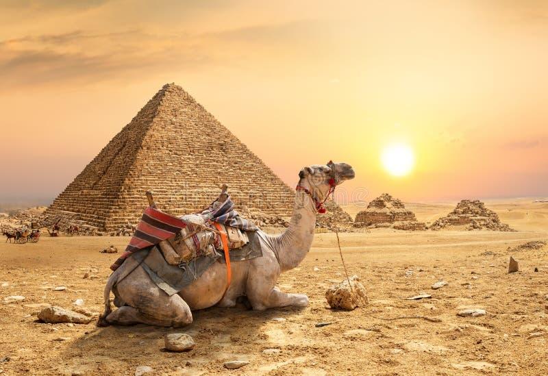 Camello en desierto arenoso fotos de archivo libres de regalías