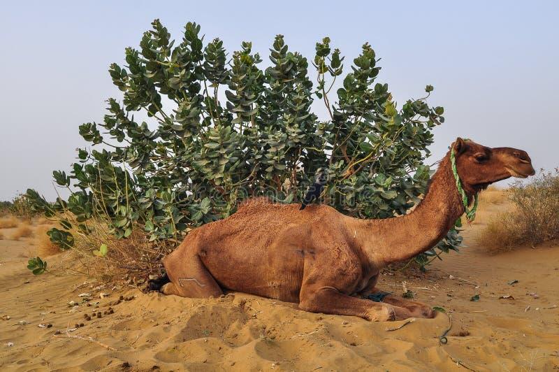 Camello en desierto en Jaisalmer, la India foto de archivo libre de regalías