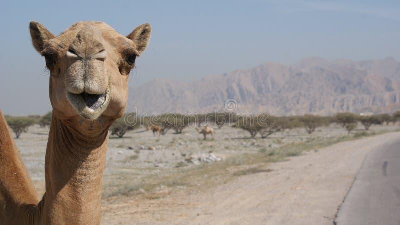 Camello en el borde de la carretera fotografía de archivo