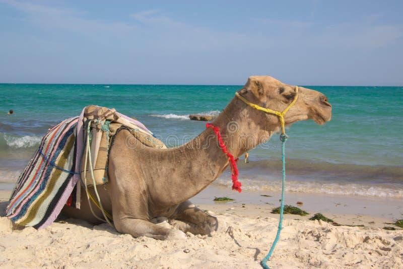 Camello en el frente del mar fotografía de archivo