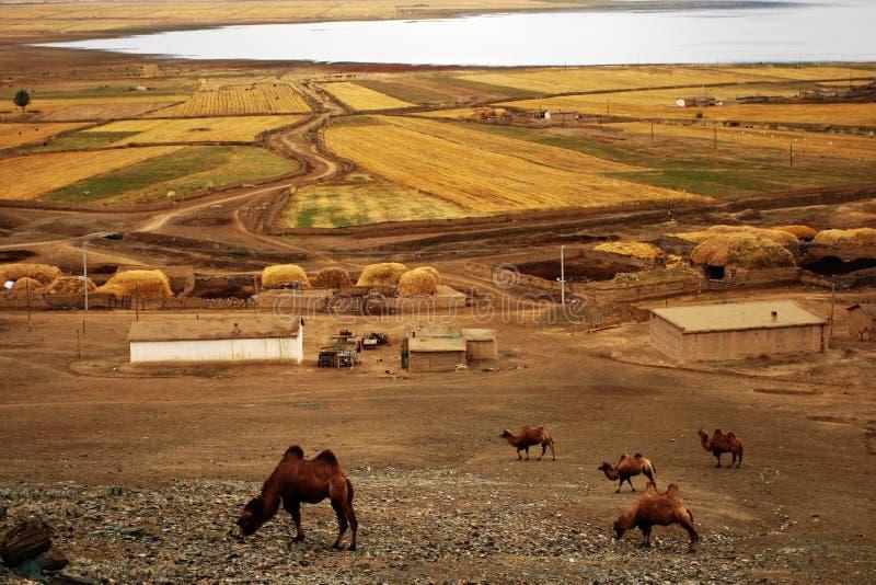 Camello En La Granja Fotos de archivo
