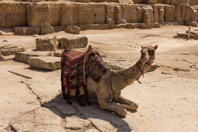 Download Camello En La Pirámide De Giza, El Cairo En Egipto Imagen de archivo - Imagen de árabe, fondo: 42428781