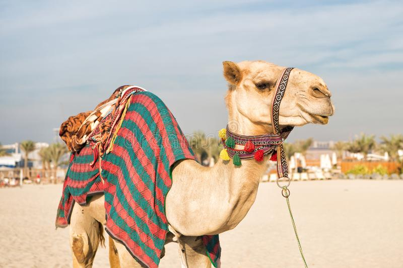 Camello en la playa de Dubai Jumeirah y rascacielos en el backround imagenes de archivo
