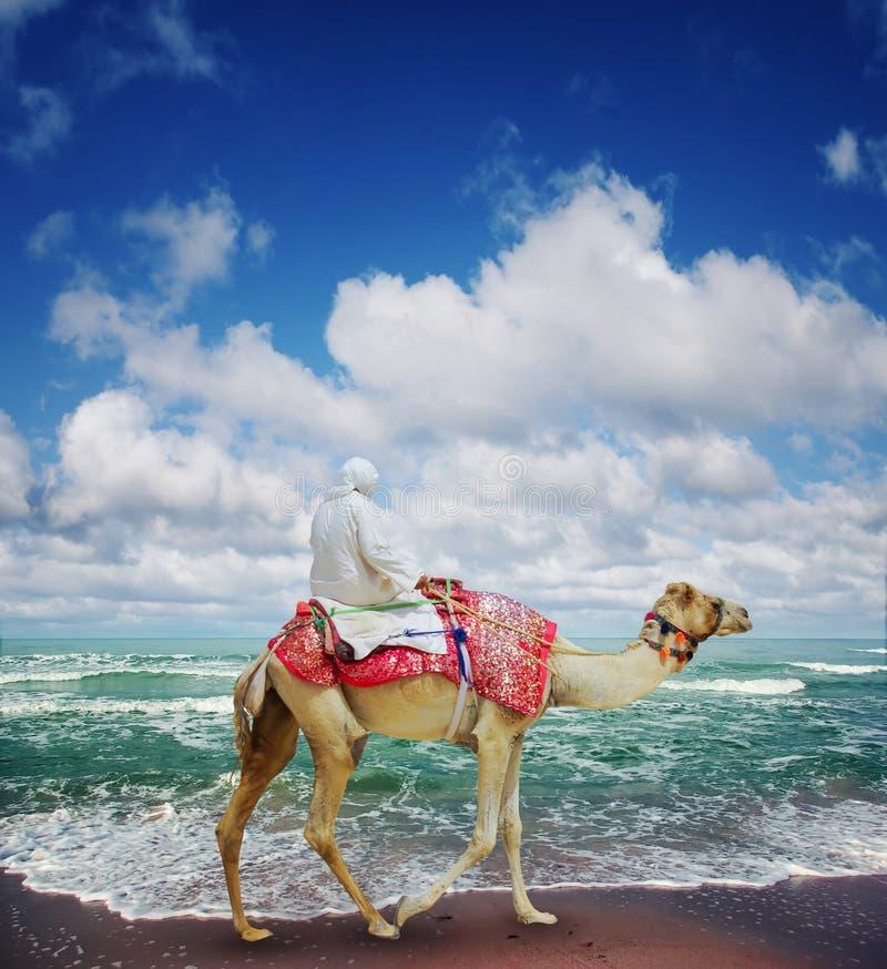 Camello en la playa de Jumeirah imagenes de archivo