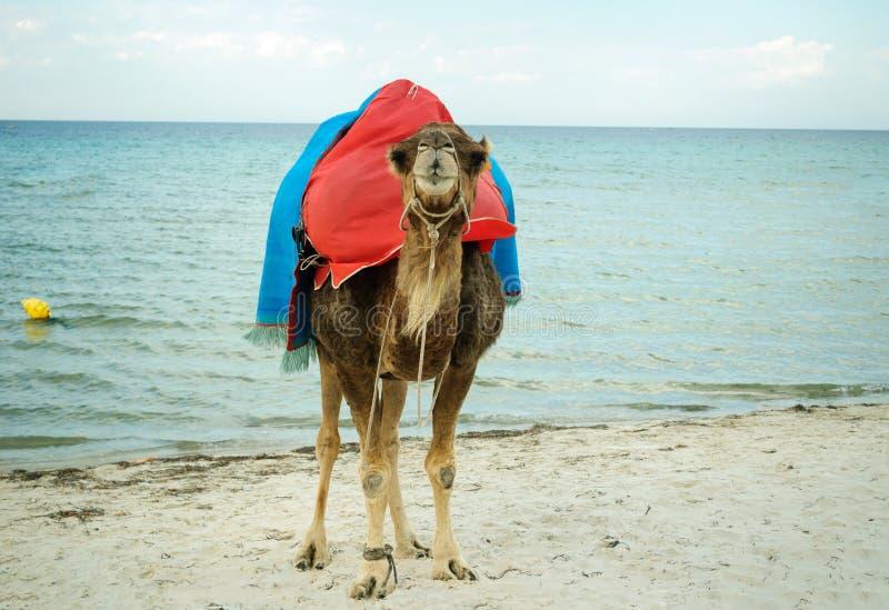 Camello en las orillas arenosas del mar Mediterráneo foto de archivo libre de regalías