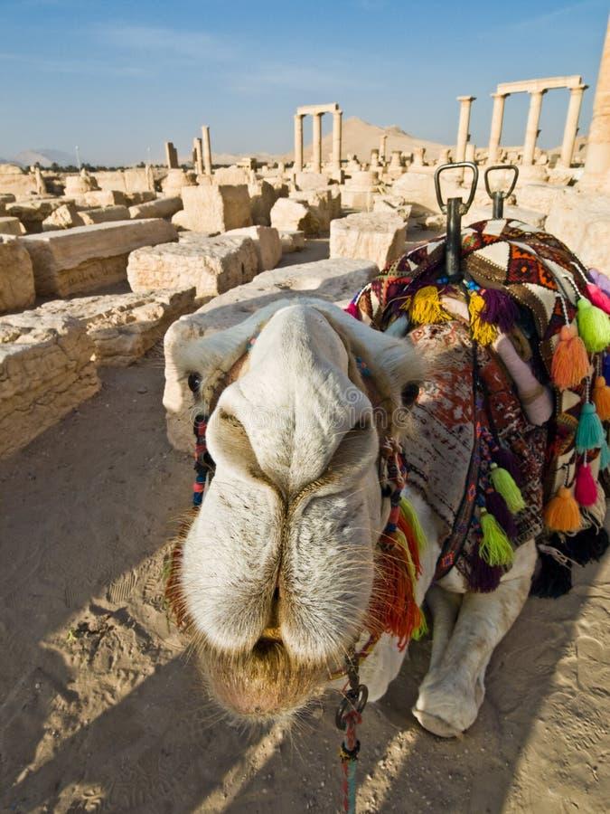 Camello en Palmyra fotografía de archivo