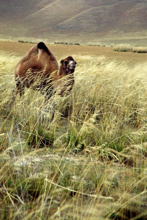 Camello en pasturage imágenes de archivo libres de regalías