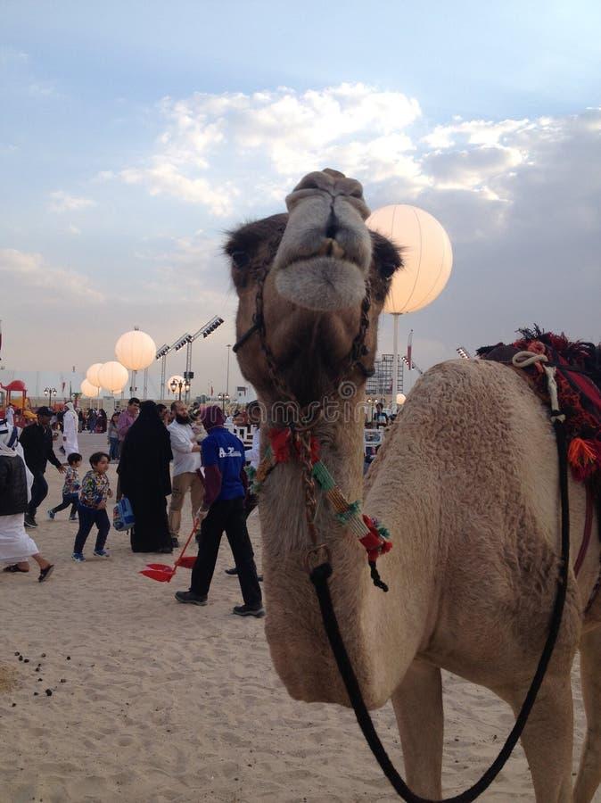 Camello en Qatar Doha durante la celebración del día nacional imágenes de archivo libres de regalías