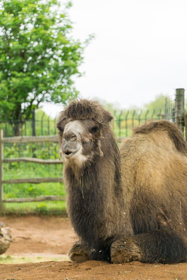 Camello en un compuesto en Londres fotografía de archivo